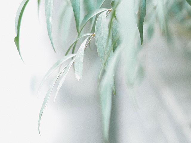 セイヨウシロヤナギ樹皮エキスのイメージ画像